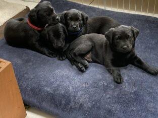 Exceptional Black Labrador KC registered Pups
