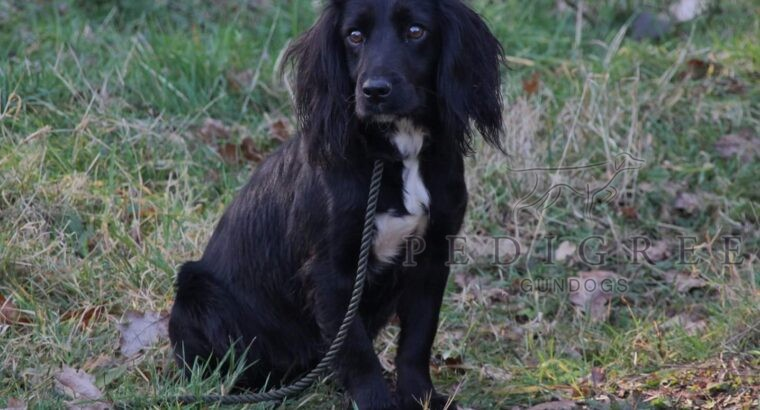 FTAW KC WORKING AND HEALTH TESTED COCKER PUPS