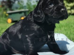 Fully health tested parents quality KC cocker pups