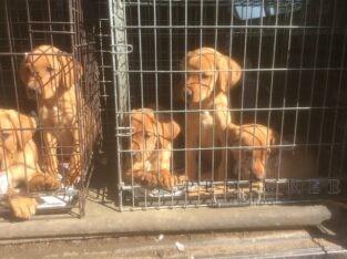 Red Labrador pedigree working gun dogs puppies