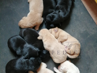 An extremely rare opportunity – Labrador Puppies