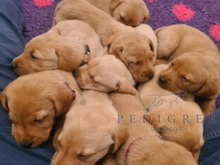 9x Fox Red Lab Puppies – KC reg – Working Gundogs