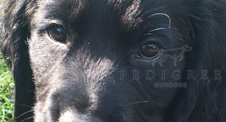 Well Bred, KC Reg Cocker Spaniel Pups.
