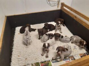 Stunning Litter of GSP Puppies