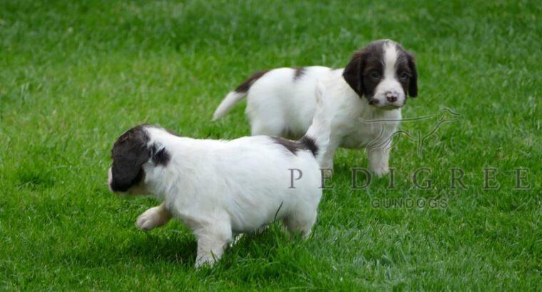 Superb Kc registered English Springer Spaniel Pups