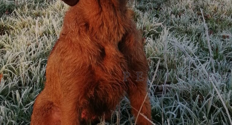 Superb Hungarian Wire Haired Vizsla Puppies