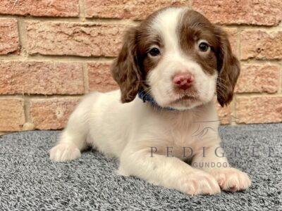 KC Springer Spaniel Puppies FTCH Lines