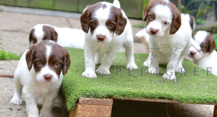 Working Liver and White ESS puppies
