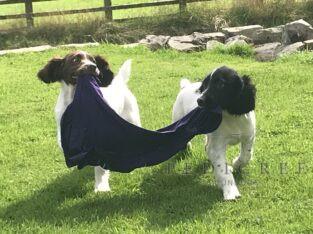 KC registered English Springer Spaniel Pups
