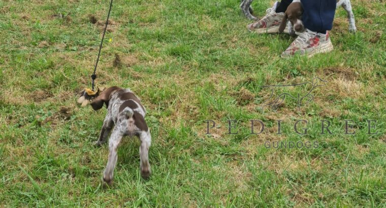 Three female GSP for sale
