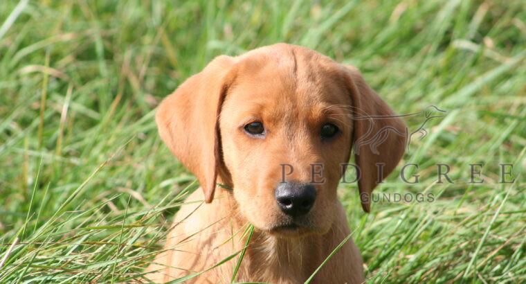 Quality KC registered Labrador Dog Pups. FTAW Sire