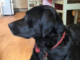 FTCH sired, KC, health tested Labrador Pups