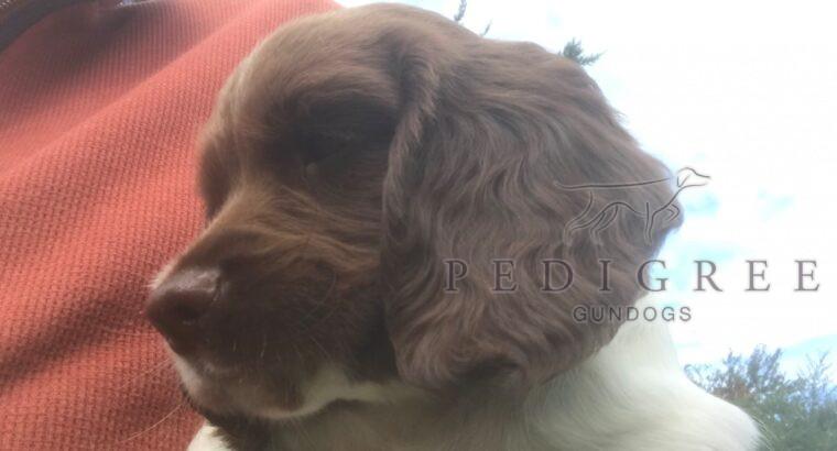 KC registered English Springer Spaniel, Dog Pup