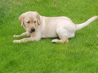 Stunning yellow Labrador bitch pup