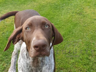 2 German Shorthaired Pointer pups
