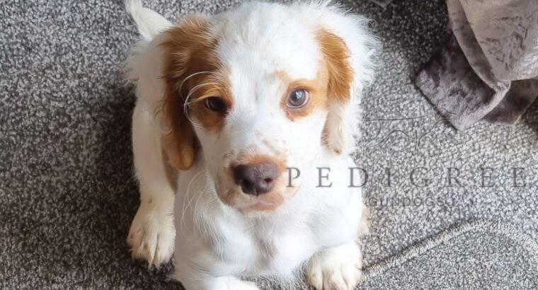 KC Registered working cocker spaniel dog puppy