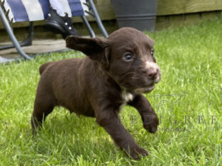 Stunning sprocker puppies