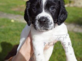 Litter of English Springer Spaniel Puppies
