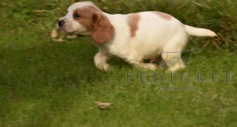 Quality KC Registered Working Cocker Spaniel Pups