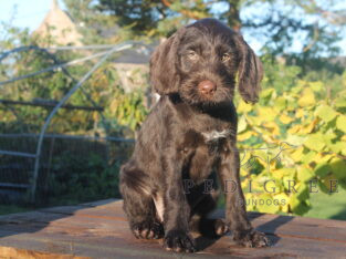 3 well bred pointers for sale