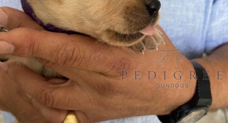 KC Registered, beautiful black and blonde Labrador