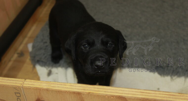 FTCH SIRED BLACK LABRADOR PUPS FOR SALE