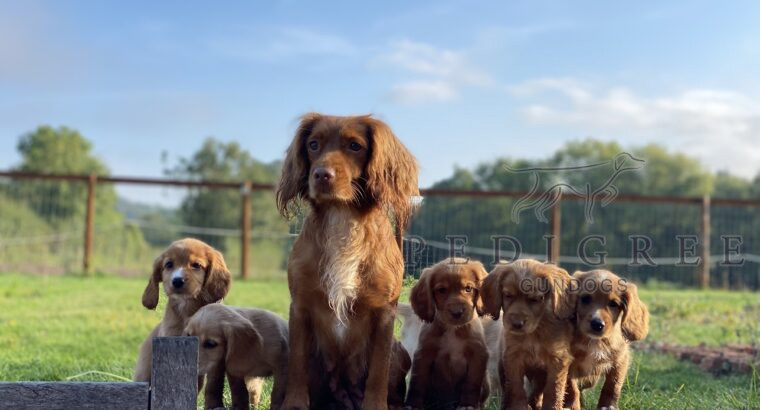 2 Beautiful Red Working Cocker Spaniels Available