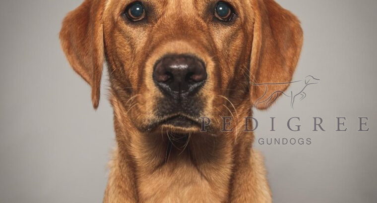 Extensively Health Checked Fox Red Lab Puppies