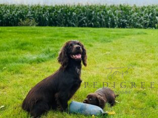 F.T.C.H Bred Liver working cocker spaniel puppies