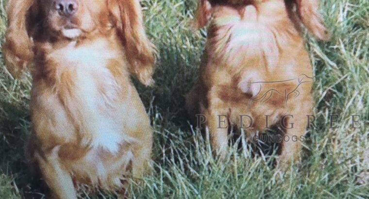 KC reg working cockers Sire FTCH Poolgreen Griffin