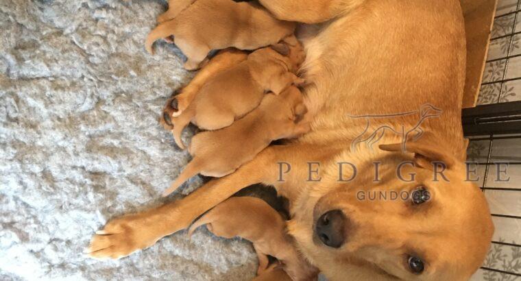 Pedigree fox red Labradors