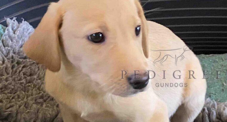 Litter of Working Labrador Retriever Puppies